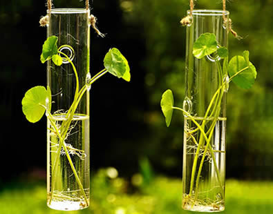 Plants are cultivated in glass tubes.